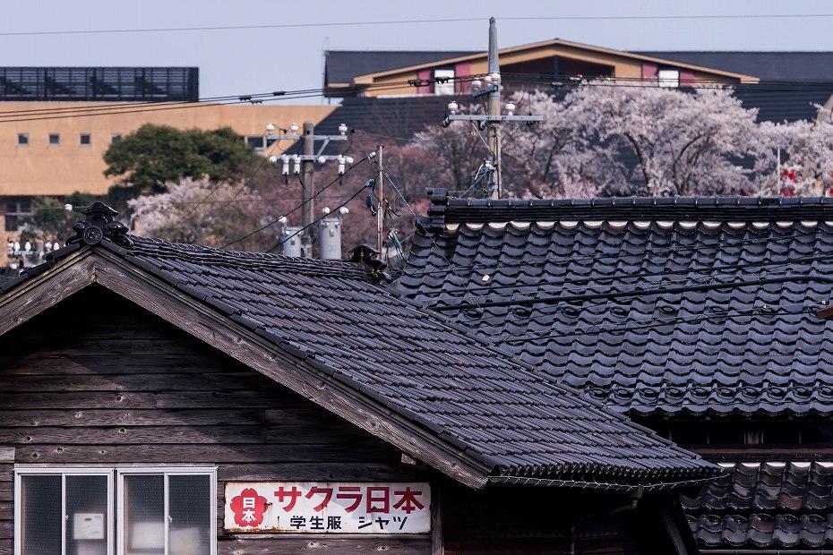 2018.04.10のと鉄道 桜 4