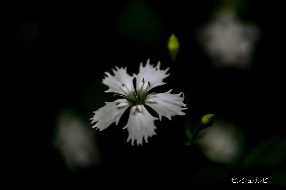 2018.07.11 白山 高山植物 2