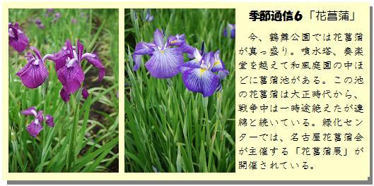 季節通信6花菖蒲