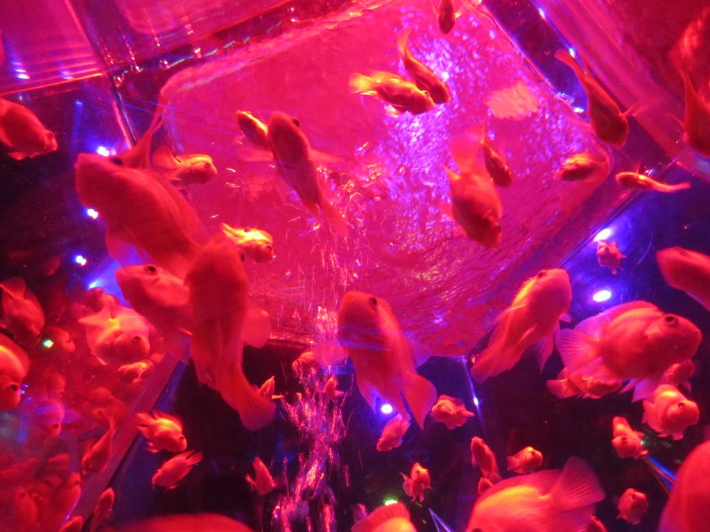 壁紙金魚3