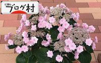 C-ajisai2_201809040740496d5.jpg