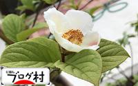 C-sharanoki_2018071907051802f.jpg