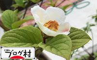 C-sharanoki_20180918075054fc8.jpg