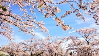 厚田_桜_2018_003