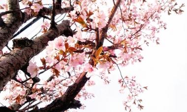 旭川_桜_20180501