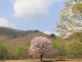 2018hibara-ipponzakura1-web600.jpg