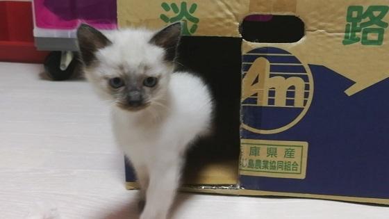 シャム猫 子猫