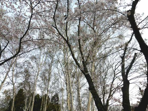 白樺と合浦公園の桜