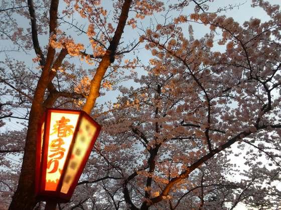 合浦公園の夜桜
