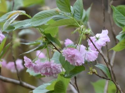 180416山桜 (1)