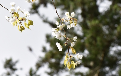 180416山桜 (2)