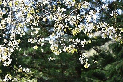 180416山桜 (3)