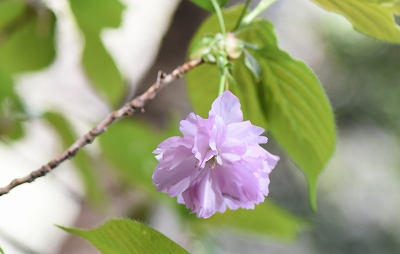 180416山桜 (5)
