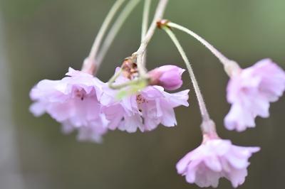 180416山桜 (4)