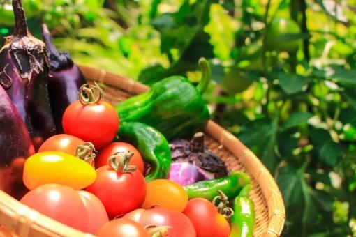 野菜,無農薬,農家,栽培,出荷