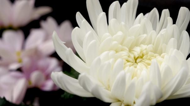 葬儀,葬式,菊の花