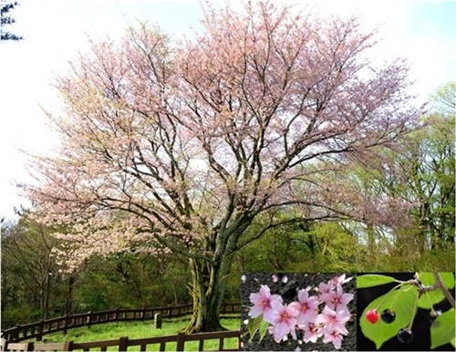 【110年論争】ソメイヨシノ起源は日本か?それとも韓国か?の画像