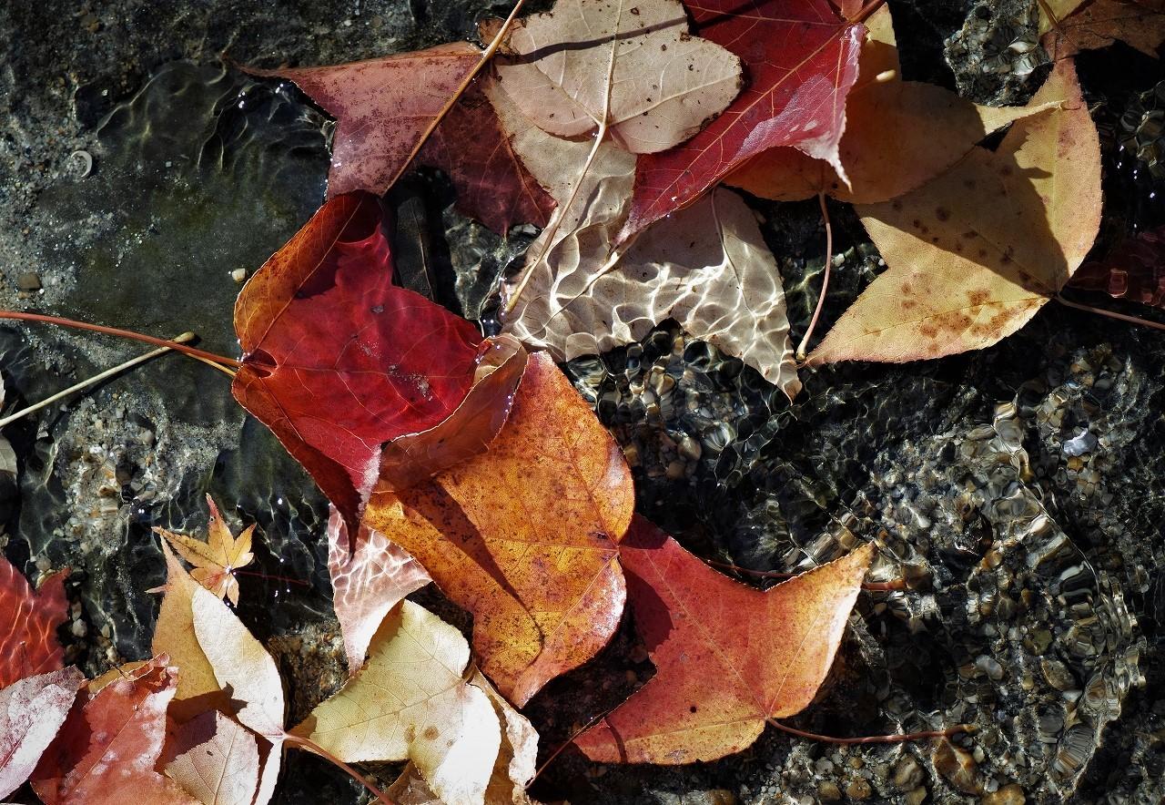 A01フウの木の葉の黄葉
