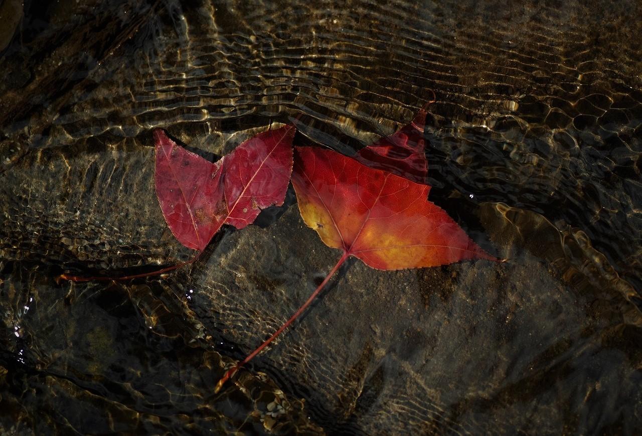 A05フウの気の葉の紅葉