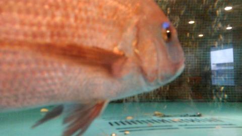 811魚4