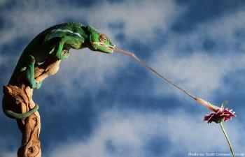 chameleon-tongue_convert_20180804181154.jpg