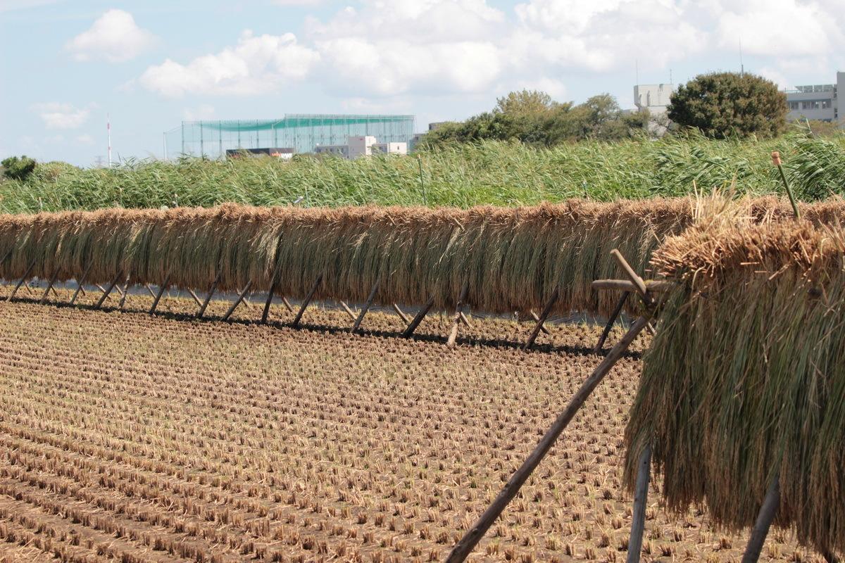 稲の掛け干し