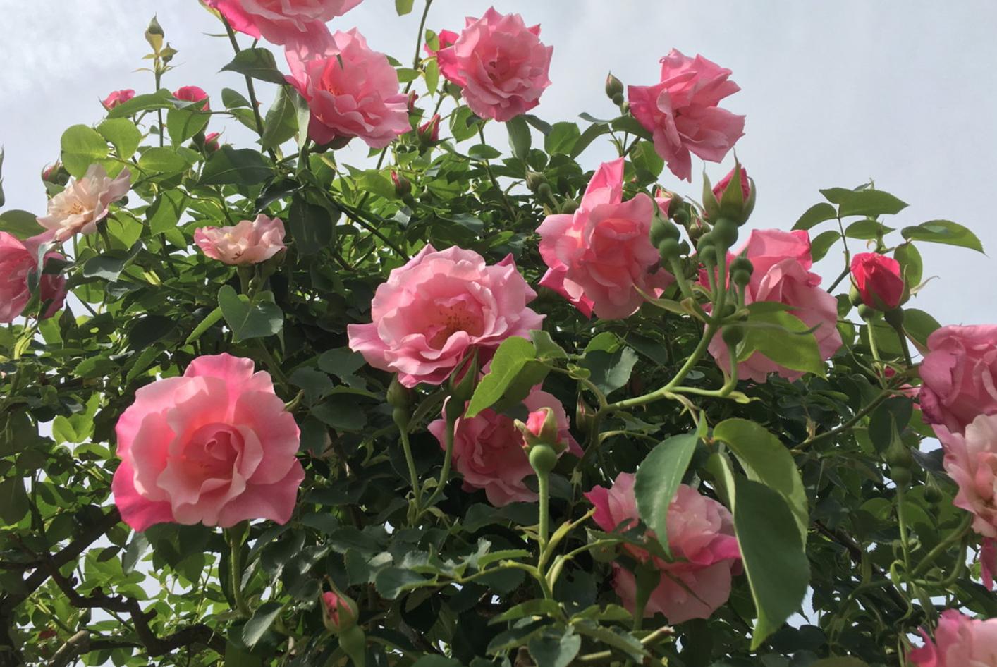 奥殿陣屋花