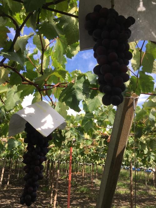 立派な葡萄