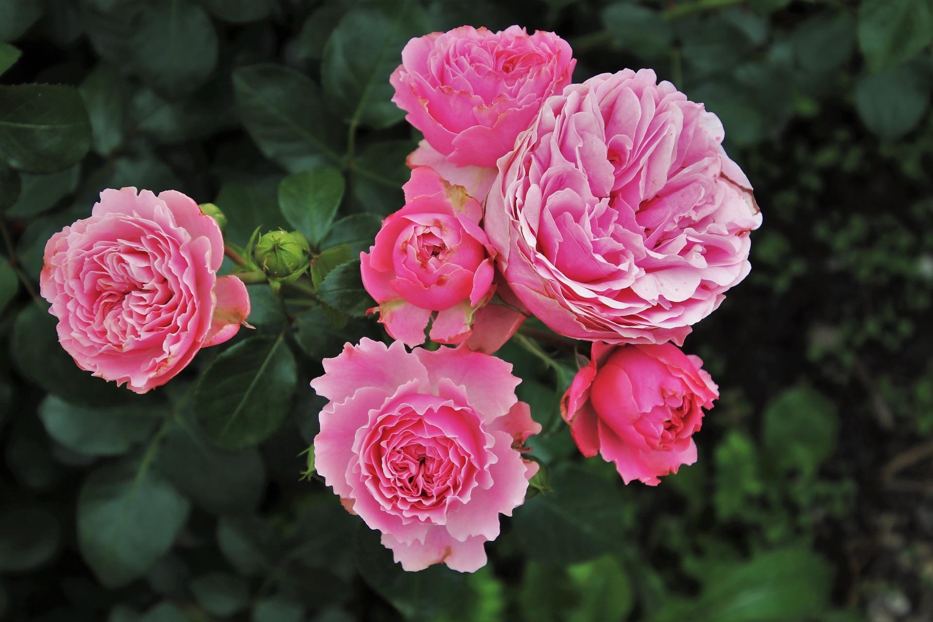 roses-3481982_1920.jpg