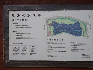 sawasugi1.jpg