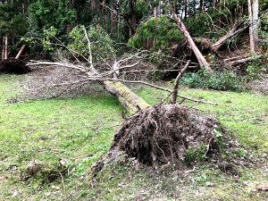 根元から倒れた木