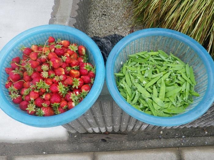 収穫18_05_08