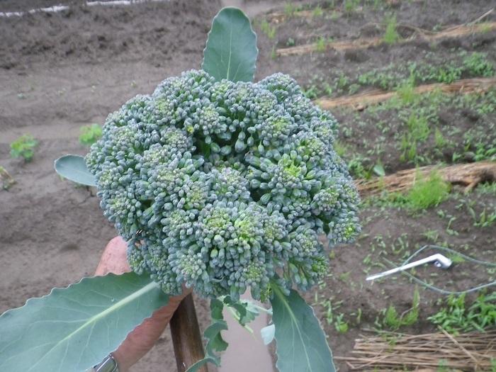 収穫2_18_05_09