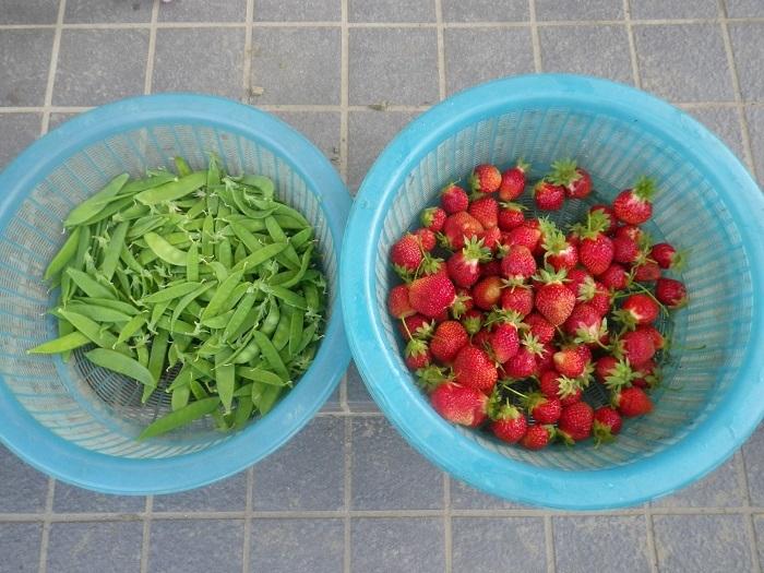収穫18_05_15