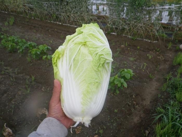 白菜1_18_05_25