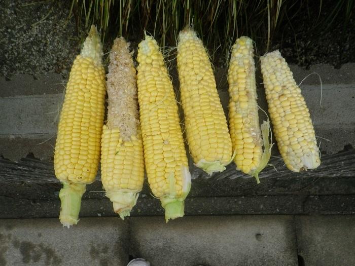 収穫3_18_06_21