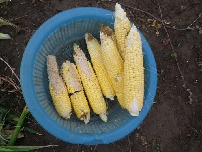 収穫2_18_06_27