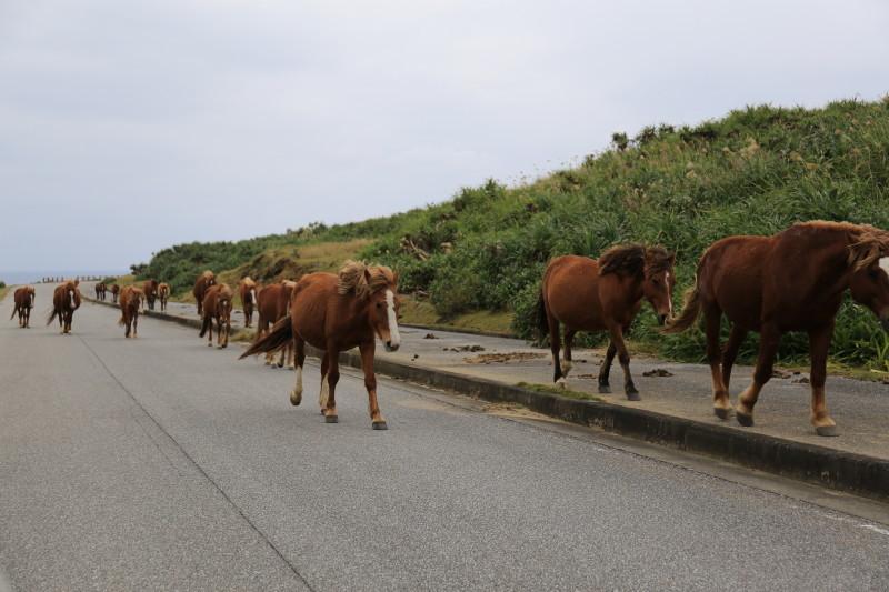与那国島 馬の大群