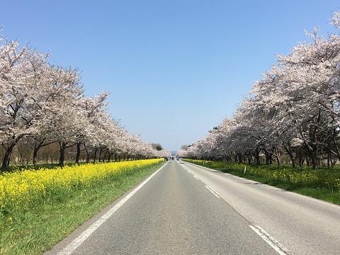 桜ロード4