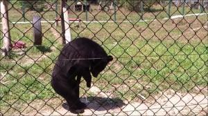 人間のように歩くクマの画像_000017306