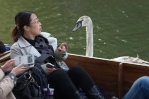 【画像】人に迷惑をかけまくる白鳥がなんとなく可愛いwwwの画像(8枚目)