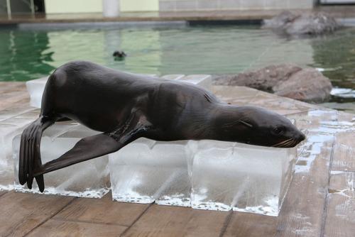 暑いので大きな氷や好物を凍らせて色々な動物たちにあげている画像の数々!!の画像(2枚目)