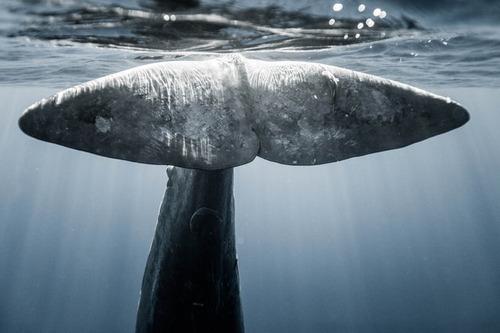 【画像】マッコウクジラといっしょに泳ぐダイバーの写真の画像(11枚目)