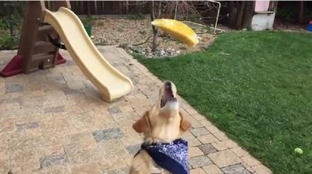 食物をなげて口でキャッチできない犬がひたすら悲しい8