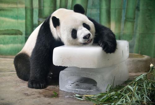 暑いので大きな氷や好物を凍らせて色々な動物たちにあげている画像の数々!!の画像(11枚目)