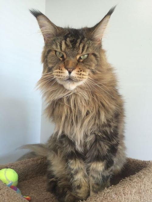 クソデカイ猫「メインクーン」の大きさがよく分る画像の数々!!の画像(21枚目)