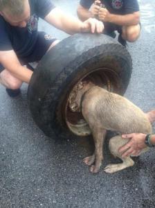 【画像】タイヤのホイールに頭がはまった犬の救助方法がなかなか凄い!!の画像(2枚目)