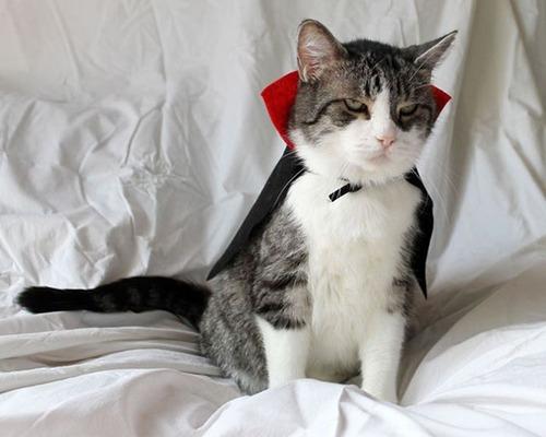 猫ちゃんのかわいいコスプレの画像(8枚目)