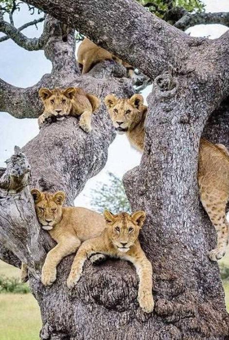 ライオンがたくさん集まる1本の不思議な木の画像を癒されるwwの画像(11枚目)