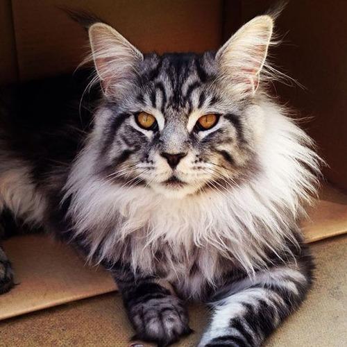 クソデカイ猫「メインクーン」の大きさがよく分る画像の数々!!の画像(24枚目)